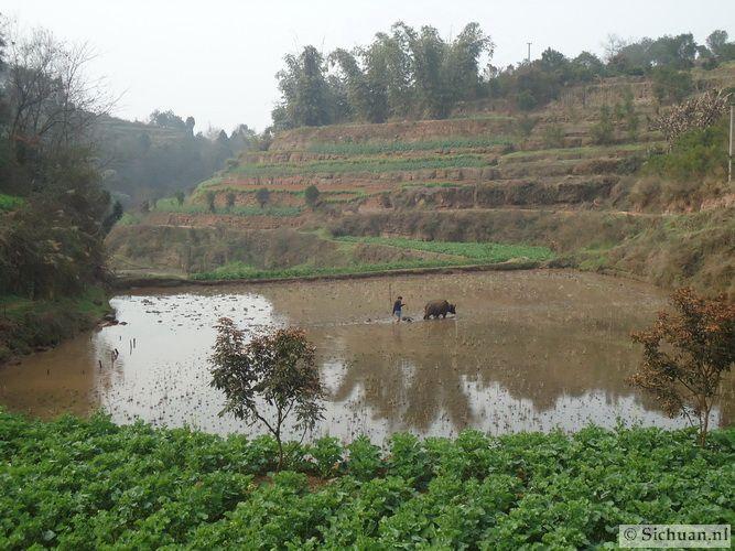 http://si-chuan.nl/wp-content/uploads/Sfeer-uit-Sichuan/08-rijstveld-.jpg